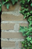 picture of english ivy  - Green English Ivy leafs growing all over an adobe brick wall - JPG
