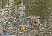 stock photo of mother goose  - Cute mother goose with her goslings swimming in the river