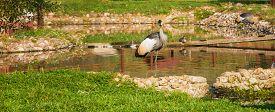 image of shadoof  - Crowned Crane  - JPG