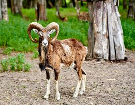 picture of goat horns  - Ibex the wild goat with amazing horns - JPG
