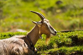 stock photo of goat horns  - One mountain goat with horns resting on a green pasture in summer - JPG