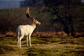 pic of bucks  - A white fallow deer buck in the morning - JPG