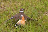 foto of killdeer  - a mother killdeer bird protecting her eggs - JPG