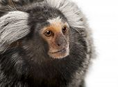 stock photo of marmosets  - Common Marmoset Callithrix jacchus 2 years old in front of white background - JPG