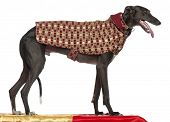 Galgo Espanol, 3 years old, standing on table and wearing coat in front of white background