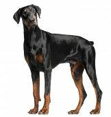 stock photo of doberman pinscher  - Doberman Pinscher - JPG