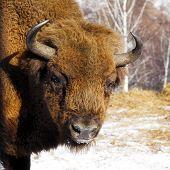stock photo of aurochs  - close - JPG