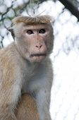 pic of tarzan  - Portrait of wild smart monkey with clever and calm look - JPG