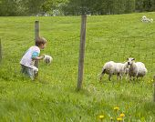 Child sheep watching