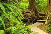 pic of pacific rim  - Path through temperate rain forest - JPG