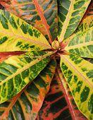 foto of crotons  - Colorful croton - JPG
