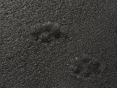 Big Dog Footprint. Paw Print Of Dog Or Wolf In Icy Surface Cover. Walking Pets In Winter In Sunny We poster