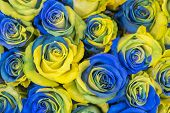 Concept Ukrainian Blue And Yellow Roses Top View. Fancy Yellow And Blue Roses. Fantastic Flowers. Bl poster