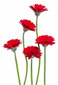 Vertical red gerbera flowers with long stem isolated on white background. Spring bouquet. poster