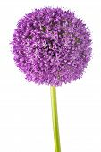 Giant Onion Flower Isolated On White Background poster
