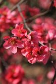 stock photo of memphis tennessee  - beautiful bright reddish pink blossoms appear in Memphis - JPG