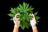 Background Green, Marijuana Leaves, Hemp Cbd, Growing Cannabis Indica, Marijuana Vegetation Plants,  poster