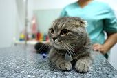 Scottish Fold Tabby Cat Visiting Veterinarian . She Waiting The Vet On Table In Examination Room Wit poster