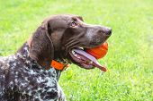 Dog German Shorthaired Pointer With Ball In The Teeth, Close-up Portrait poster