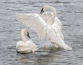 image of trumpeter swan  - Trumpeter Swan  - JPG