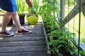 Women Gardener Watering Plants. Container Vegetables Gardening. Vegetable Garden On A Terrace. Flowe poster