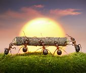Team Of Ants Carry Log On Sunset, Teamwork Concept