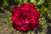 picture of garden eden  - red rose flower against green garden background