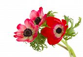 stock photo of windflowers  - red anemone flowers posy isolated on white background - JPG