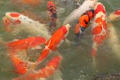 picture of fish pond  - beautiful koi fish swimming in the pond - JPG