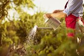 stock photo of apron  - Young male gardener is watering plants in garden - JPG