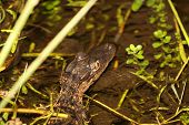 stock photo of crocodilian  - a picture of a young alligator in the water - JPG