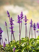 foto of blue-salvia  - Meadow with blooming Blue Salvia herbal flowers - JPG