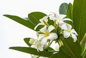 stock photo of champa  - Beautiful white flower in thailand Lan thom flower - JPG
