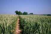 Summer Wheat Field poster