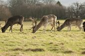stock photo of deer family  - Deer are the ruminant mammals forming the family Cervidae - JPG