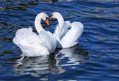 foto of mating animal  - Two graceful white swans on blue water in spring - JPG