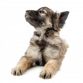 stock photo of hirsutes  - dog on the white backgrounds - JPG