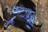 stock photo of poison arrow frog  - Blue Poison Frog - Dendrobates tinctorius azureus Rare species from Surinam