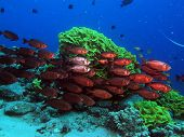 picture of bullseye  - A school of red moontail bullseyes in front of yellow salad coral - JPG