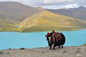 image of yaks  - Tibetan Yak on a pass near Lhasa - JPG