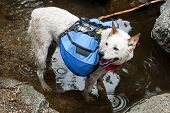 image of cattle dog  - Dog Red Heeler Cattle Dog with blue backpack wading a mountain stream crossing.
