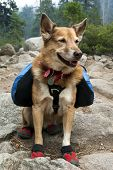 pic of blue heeler  - Cattle Dog with blue backpack and red canine hiking boots in Summer mountains.