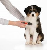 stock photo of australian shepherd  - dog grooming  - JPG