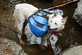 pic of heeler  - Dog Red Heeler Cattle Dog with blue backpack wading a mountain stream crossing.