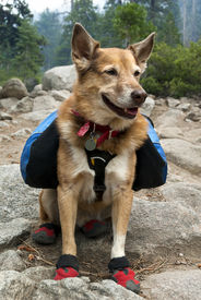 pic of heeler  - Cattle Dog with blue backpack and red canine hiking boots in Summer mountains.