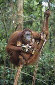 stock photo of orangutan  - Orangutan embracing young in tree - JPG