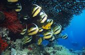 image of butterfly fish  - Butterfly Fish - JPG