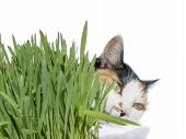 stock photo of laxatives  - Female cat smelling grass - JPG