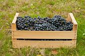 stock photo of merlot  - Merlot Grapes in wooden box in autumn garden - JPG