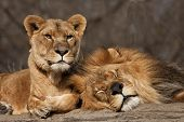 picture of mating animal  - Male and female lions with friendship connection - JPG